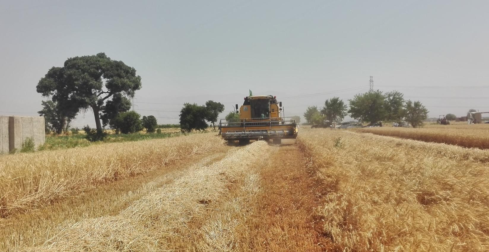 Wheat harvest from pilot field trials in Nazarabad County (Alborz Province)